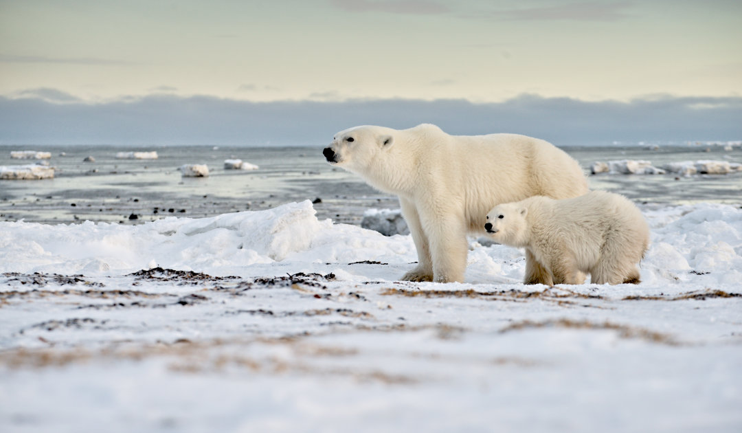 New bill to protect polar bears in the U.S.