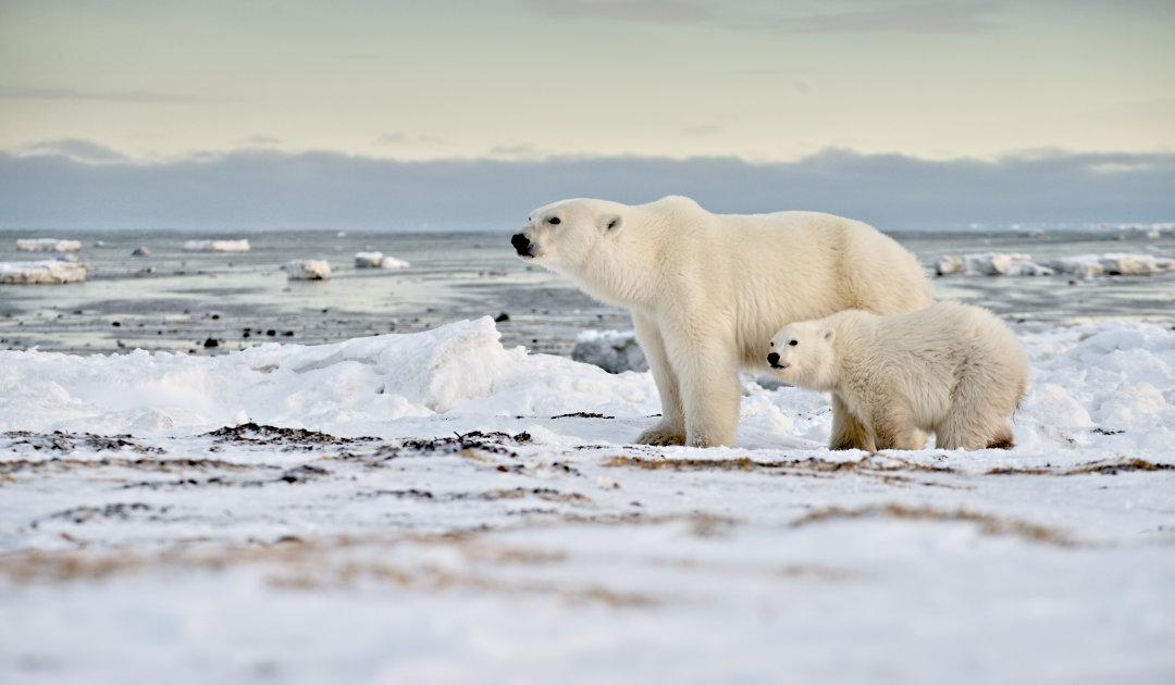 Neues Gesetz könnte Eisbären in den USA besser schützen