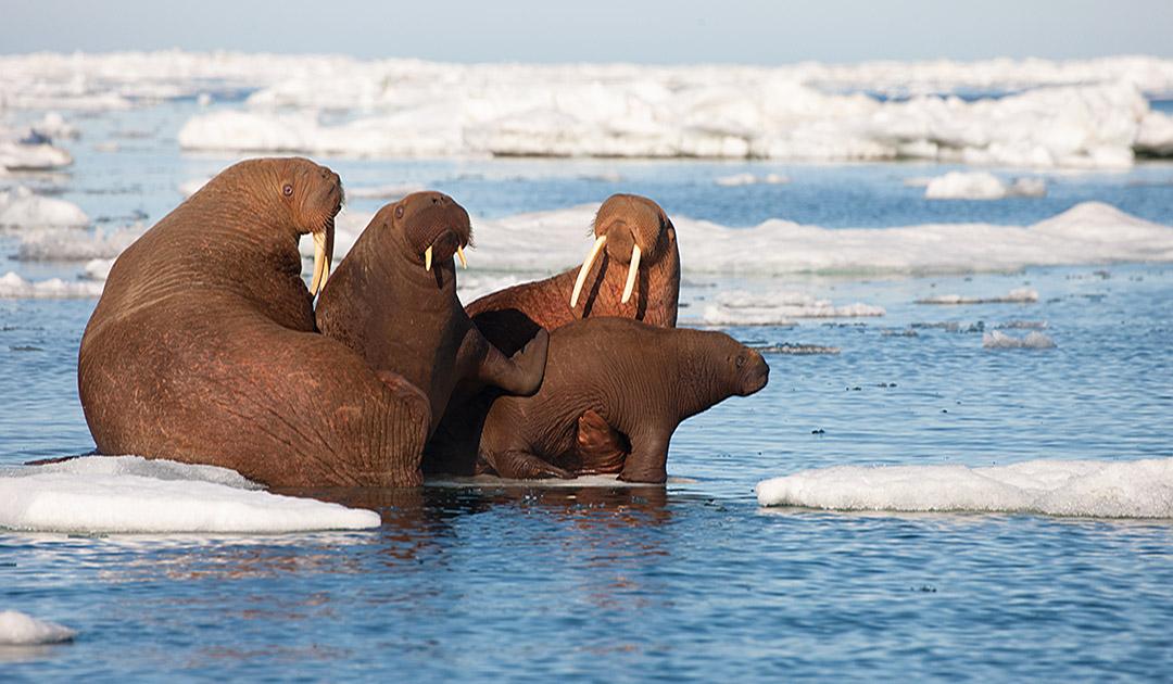 Walrosse gehen früher an Land