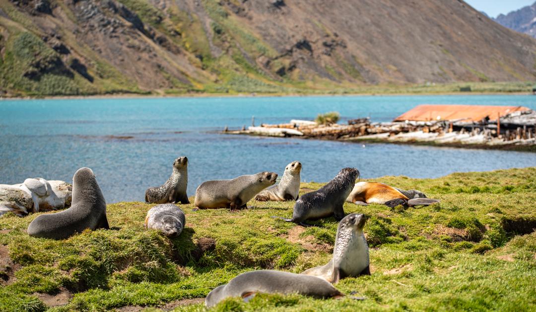 Seebären-Schnurrhaare liefern Erkenntnisse zum Nahrungsnetz
