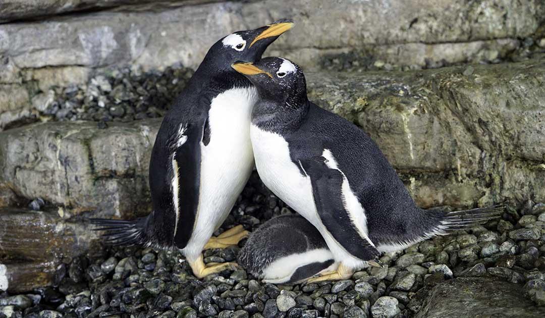Pinguinküken in spanischem Aquarium hat zwei Mütter