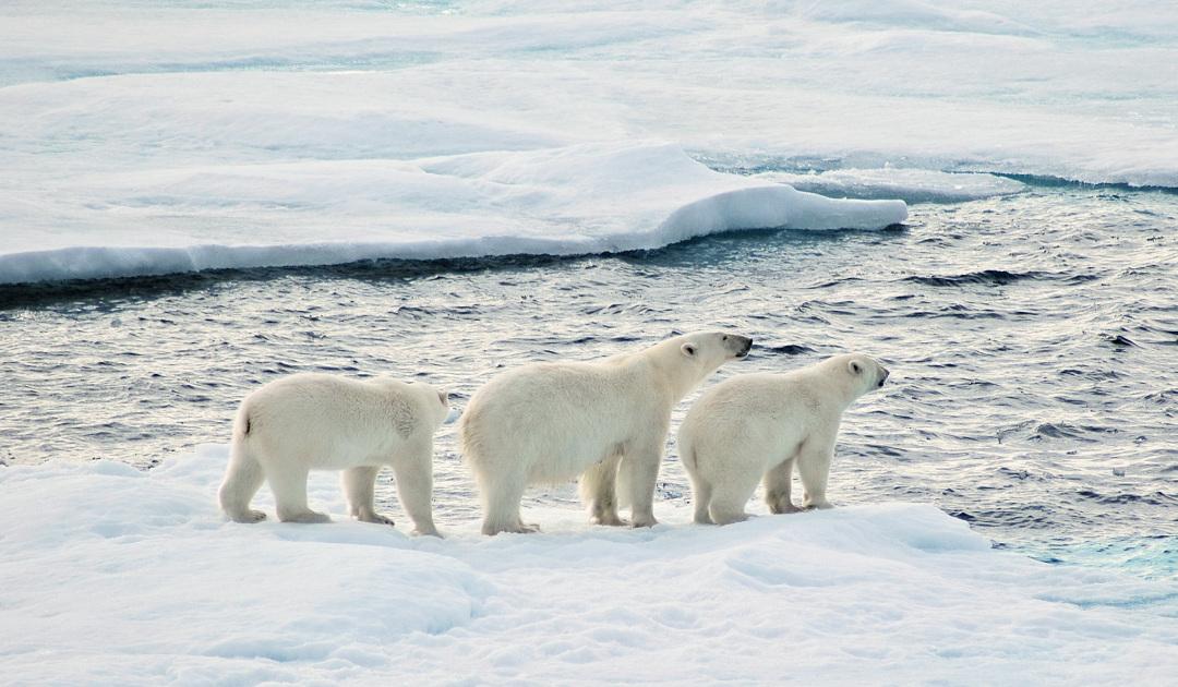 Eisbären in Südgrönland sorgen für Aufruhr