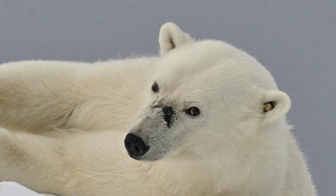 Polar bear dies on Svalbard during marking program