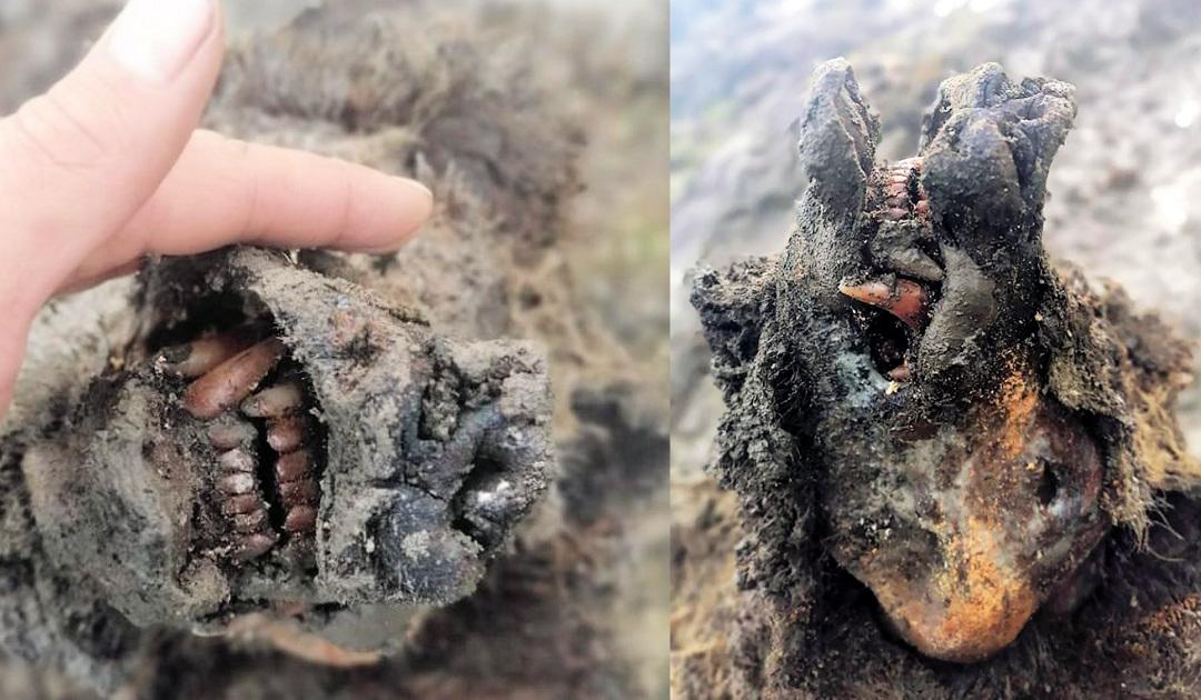 Komplette Höhlenbär-Überreste auf arktischer Insel entdeckt