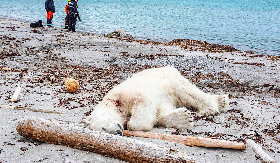 The polar bear case on Phippsøya has been stayed