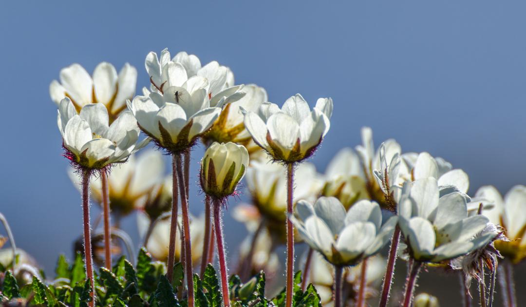 Rivalries for pollinators among Arctic plants
