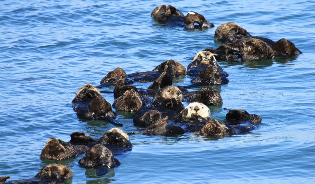 Sea otters vanish followed by an ecosystem collapse