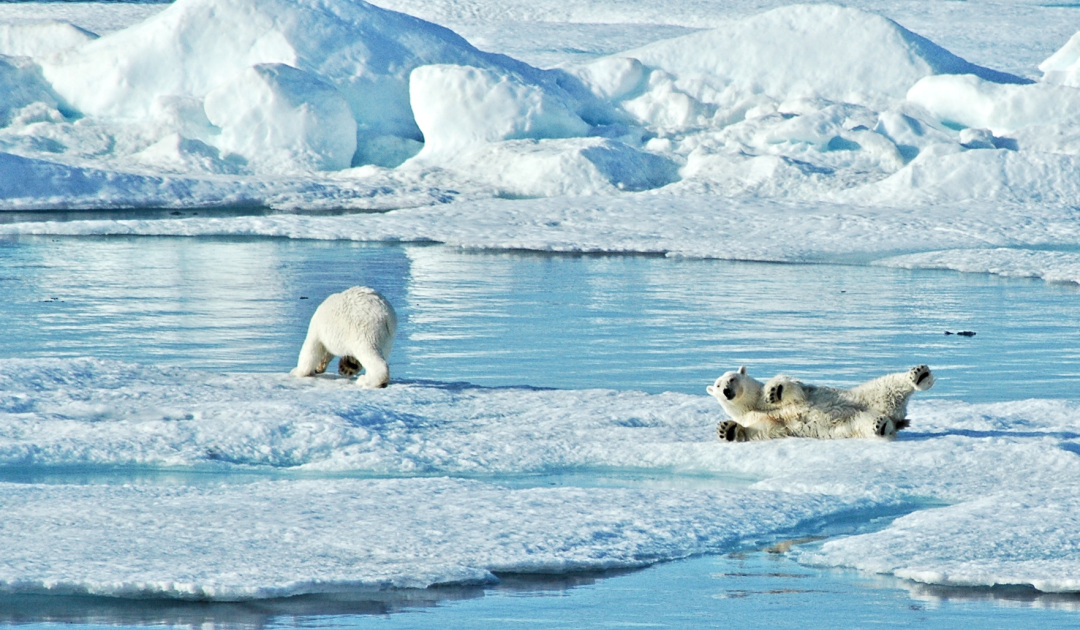 Polar bears in northern Greenland are doing better at the moment