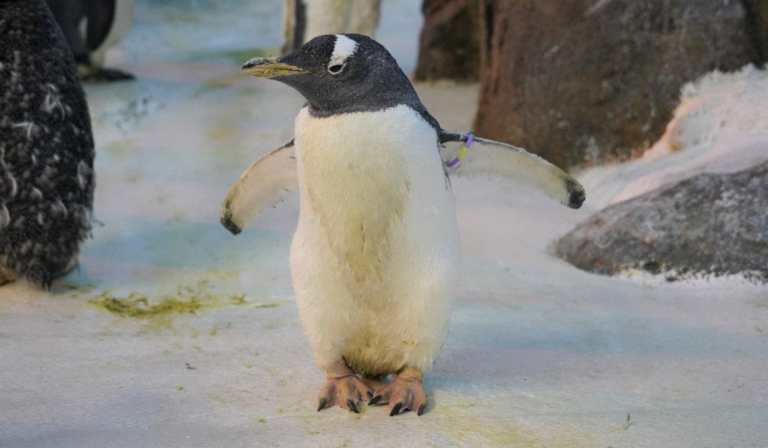 Ältester Pinguin ist ein schottisch-dänischer Eselspinguin