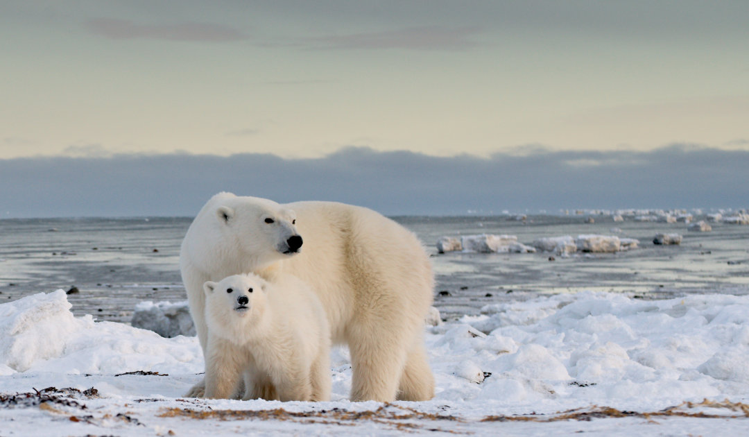 Key polar bear conservation study blocked by senior U.S. official