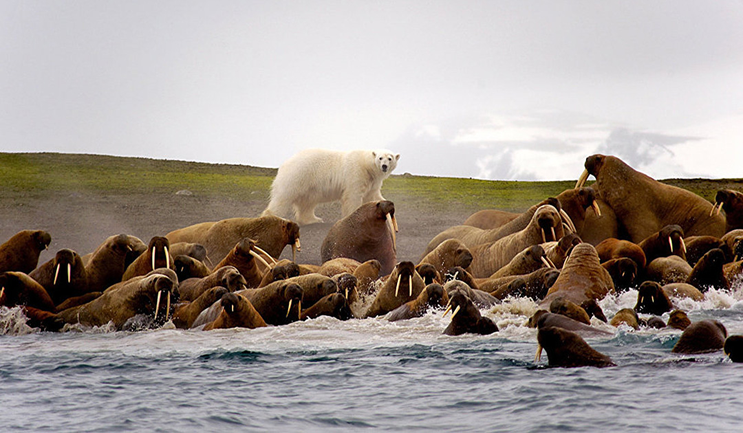 Friendship between polar bears and walrus
