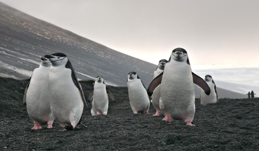 Zügelpinguine in der Antarktis neu gezählt