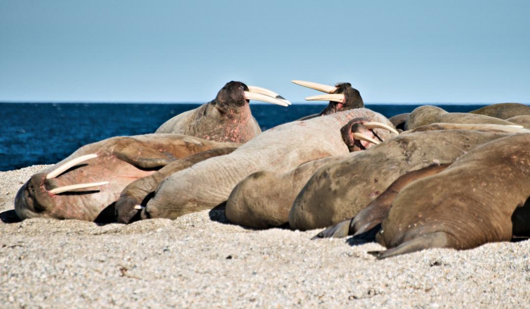 Surfin' USA – Walrossahnen lebten einst in Kalifornien