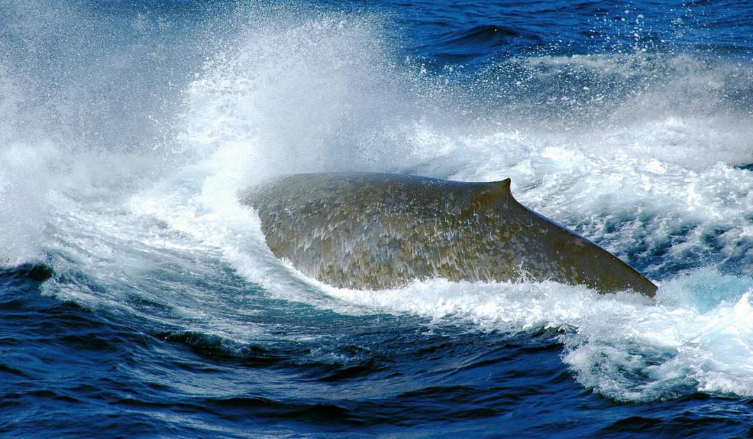 Blauwale entdecken wieder Südgeorgien