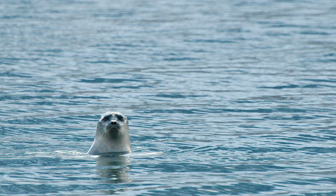 Ringed seals remain protected in the USA