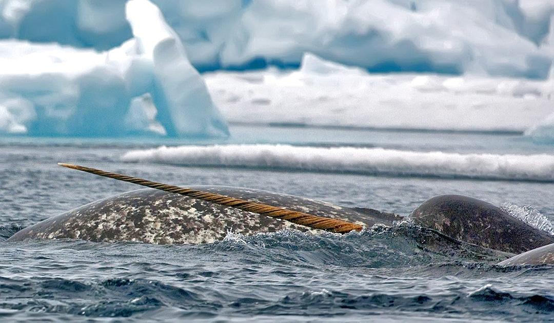 Narwale leiden unter Stress