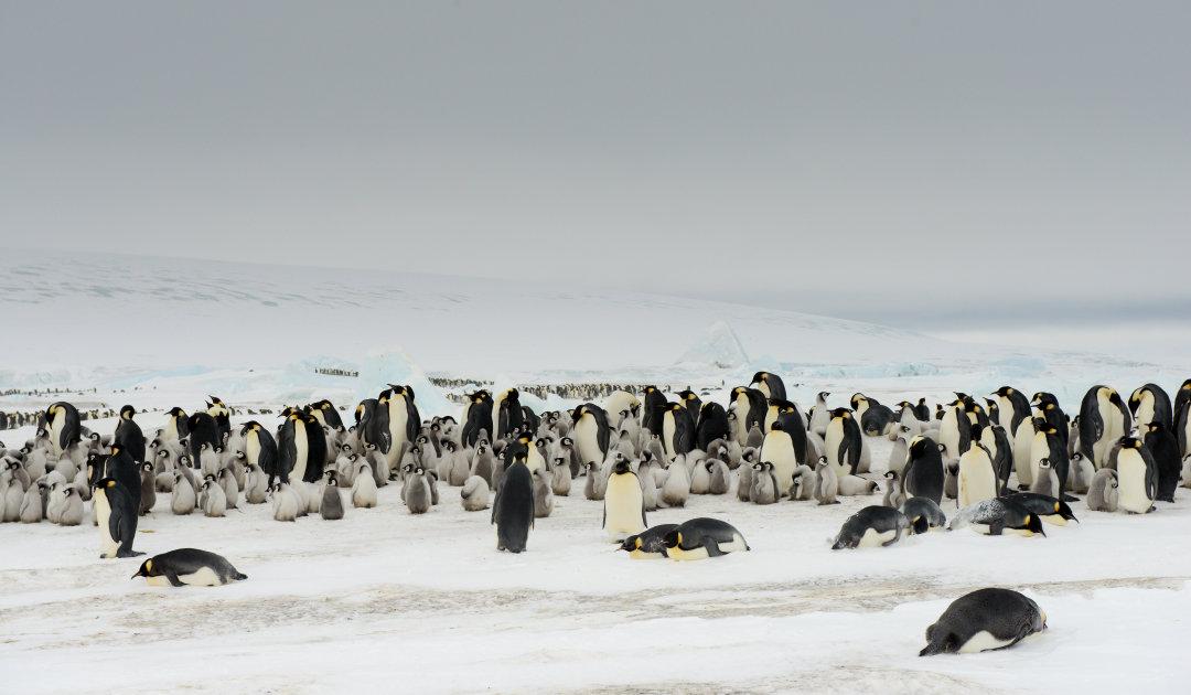 Netzwerk von Schutzgebieten verbessert Situation von Pinguinen