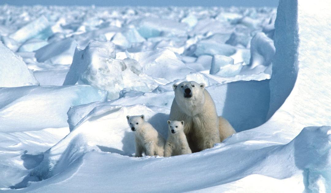 Nur schnelle Treibhausgasreduktion sichert Überleben der Eisbären nach 2100