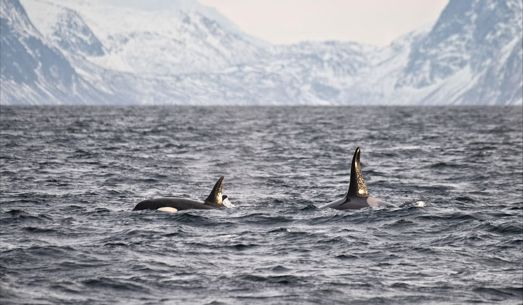 Orcas off the coast of Norway