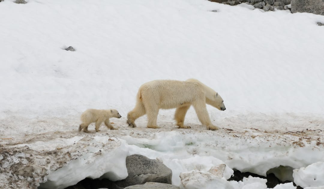 New knockout for US Arctic drilling plans thanks to polar bears
