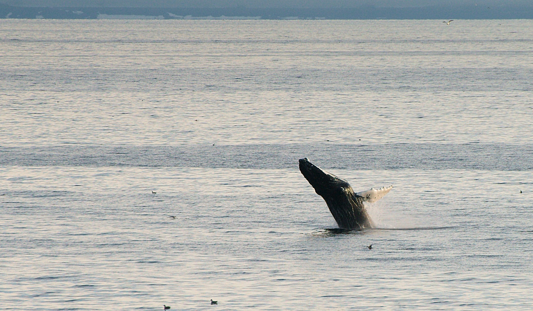 Humpback whales around Nuuk placed under protection