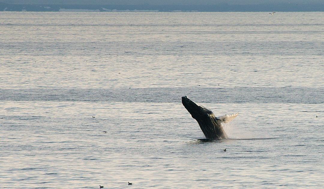 Buckelwale um Nuuk unter Schutz gestellt
