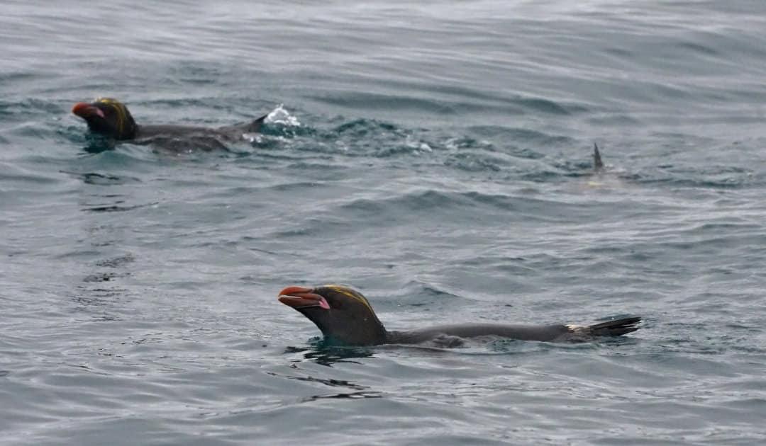 Tauchen liegt Pinguinen im Blut