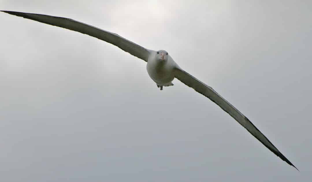 Albatrosses and petrels need international protection