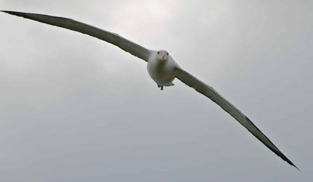Albatrosse und Sturmvögel brauchen internationalen Schutz