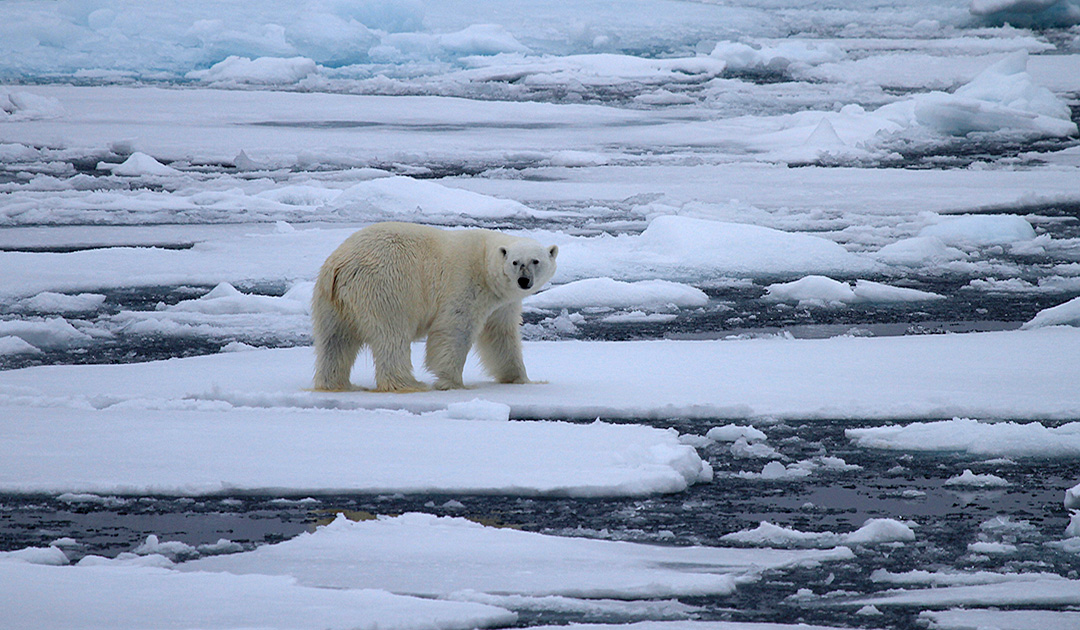 Russia counts its polar bears