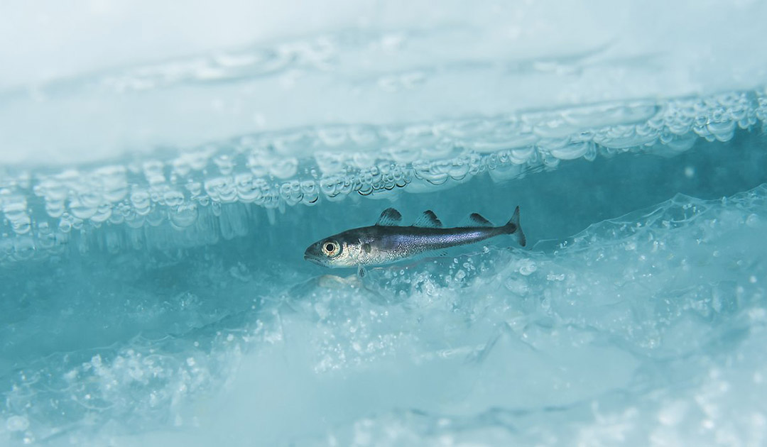 Ölverschmutzung führt zu Fehlbildungen bei Polardorschen