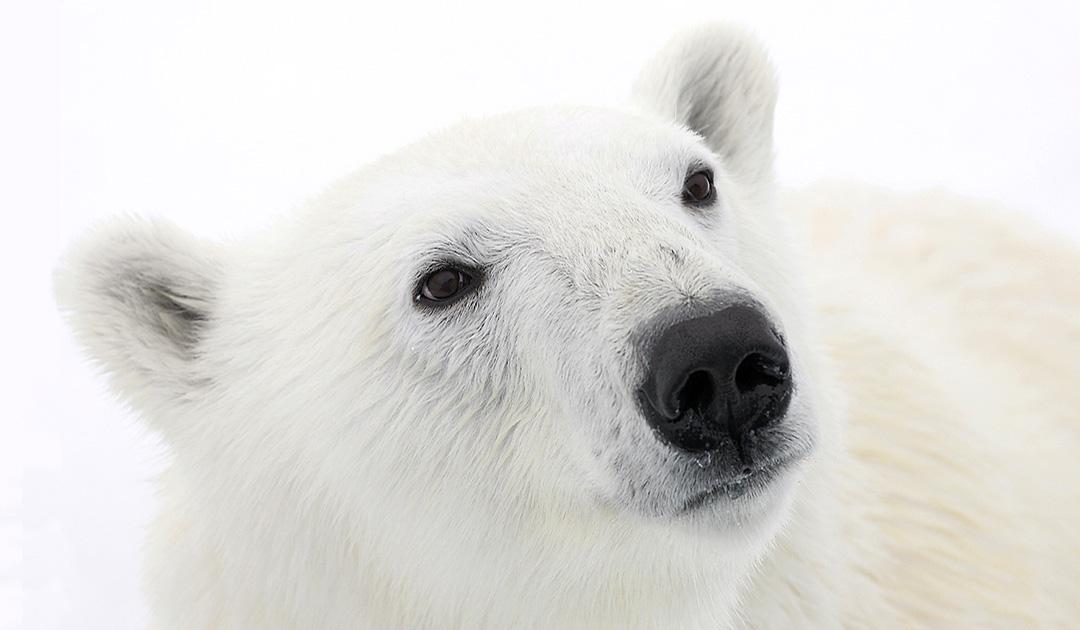 Eisbär – wie weiter?