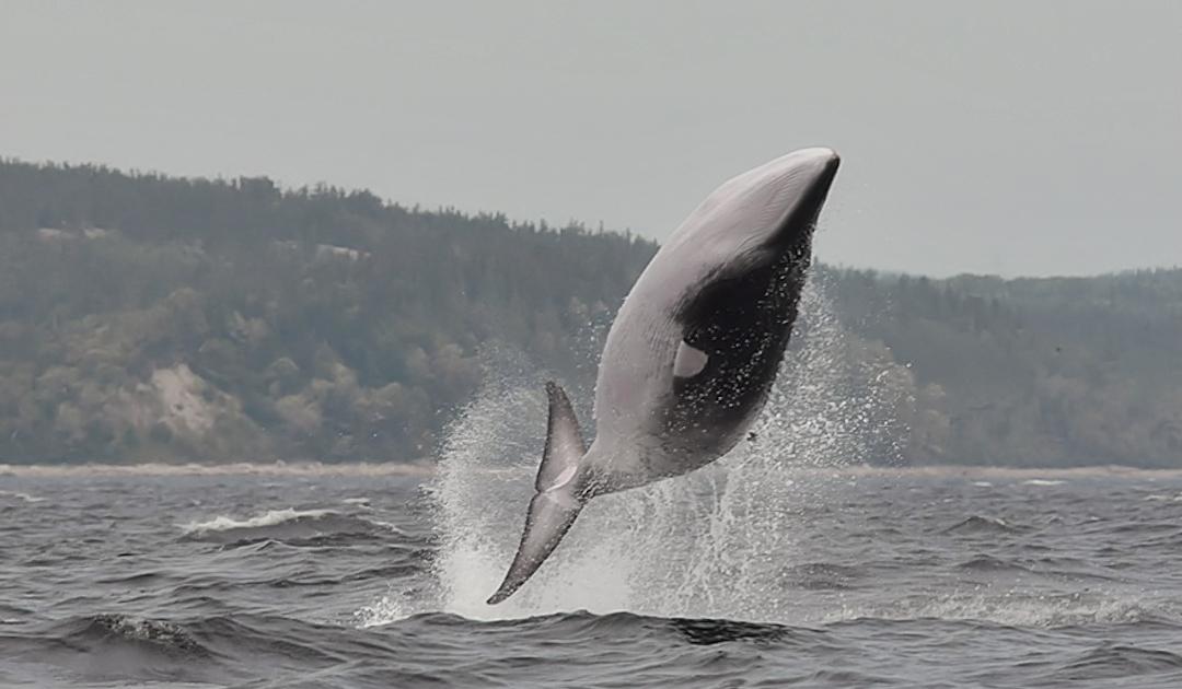 Lärmexperiment mit Zwergwalen bei Lofoten läuft an