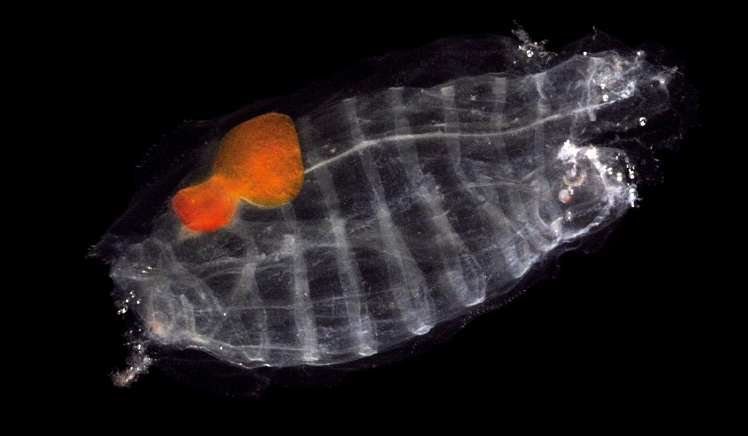 Salpen düngen Südlichen Ozean effektiver als Krill
