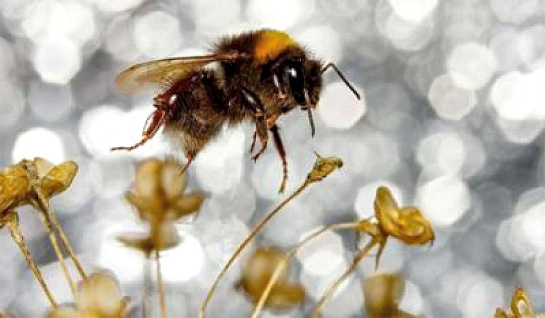 Unique bumblebee discovered on Wrangel Island