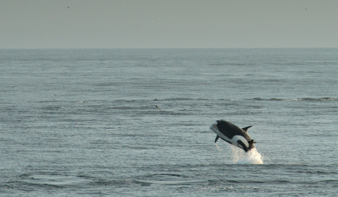 Orca females also go through menopause