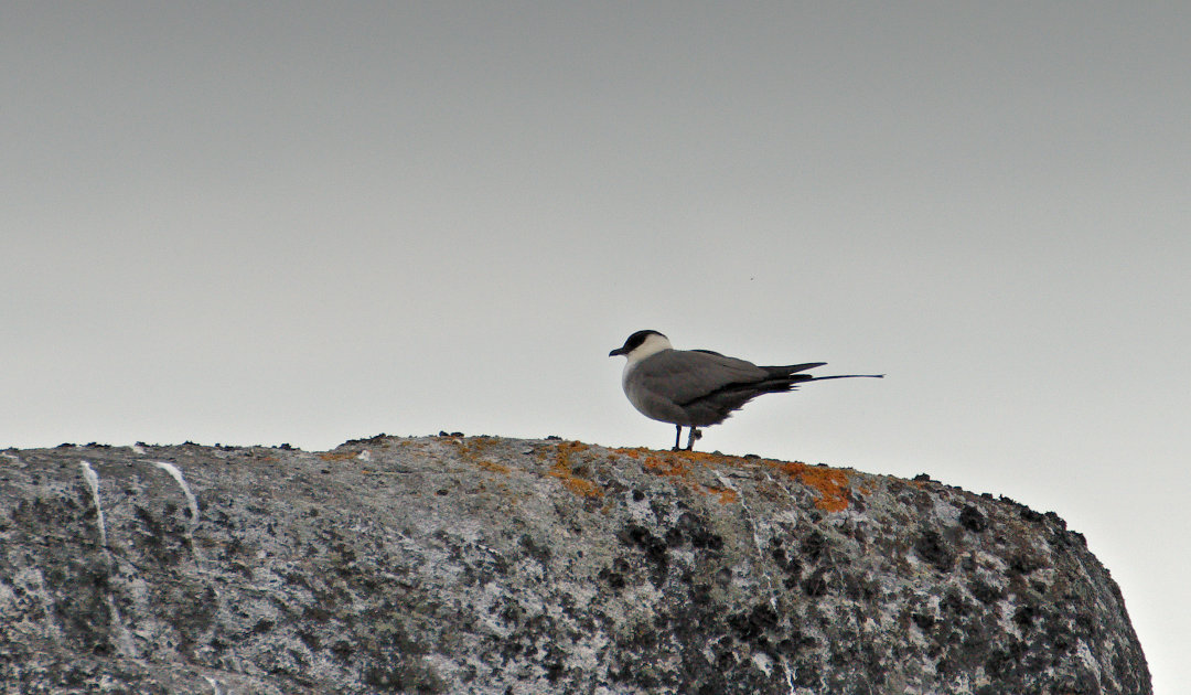 Seevogel-Hotspot im Nordatlantik soll Schutzgebiet werden