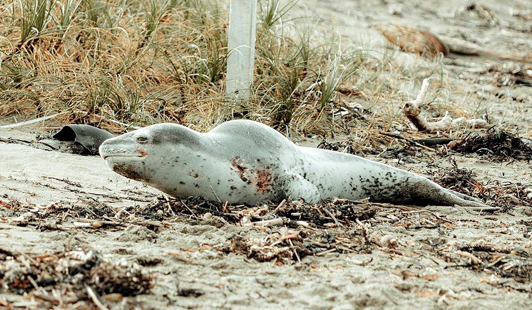 Verirrter Seeleopard taucht in Neuseeland auf