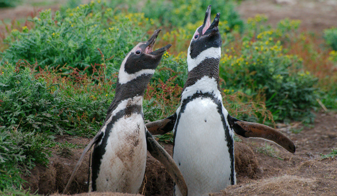 Magellanic penguins and fishermen compete for food sources