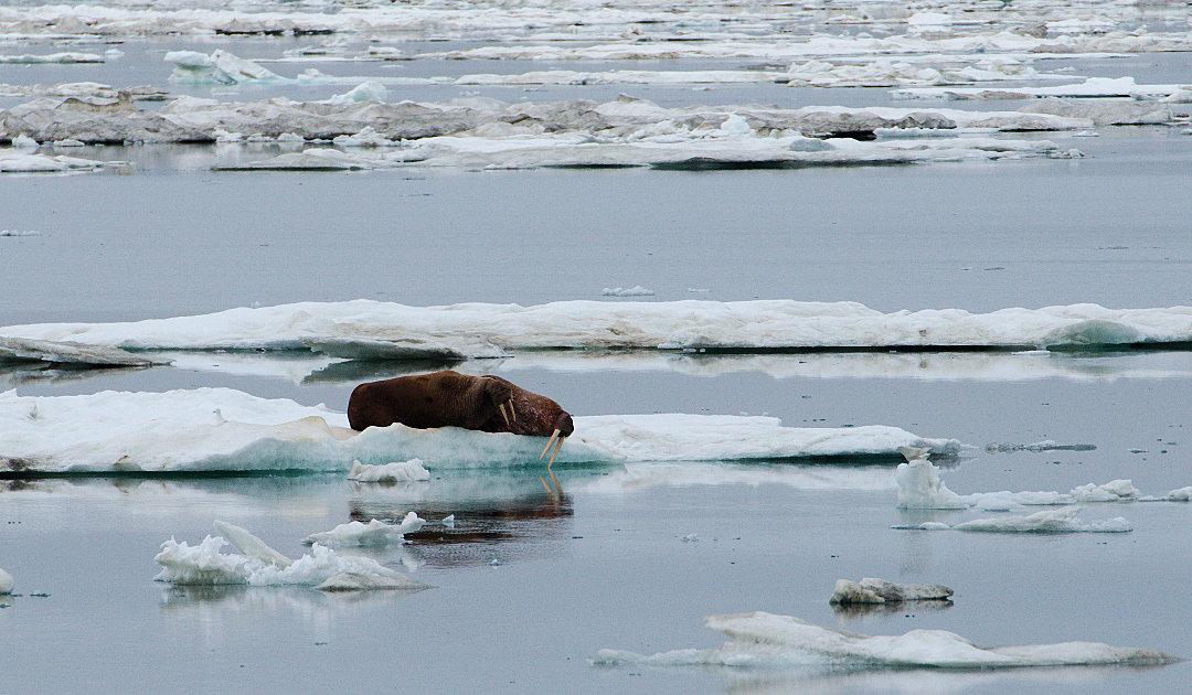 Walrossweibchen und Junge hängen stärker vom Arktischen Meereis ab