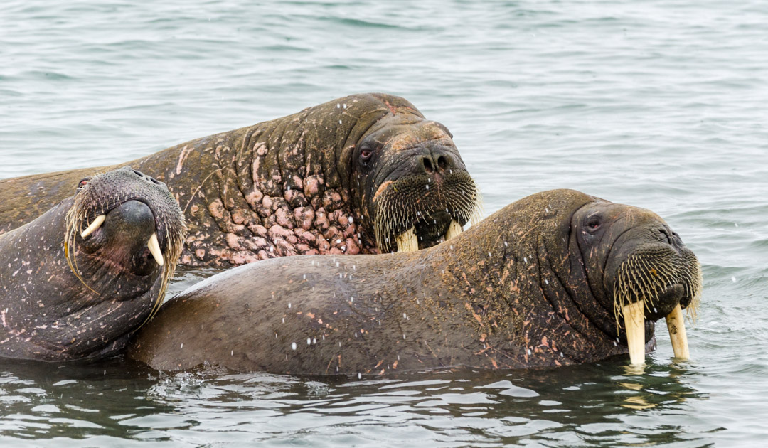 Inuit knowledge helps walrus researchers