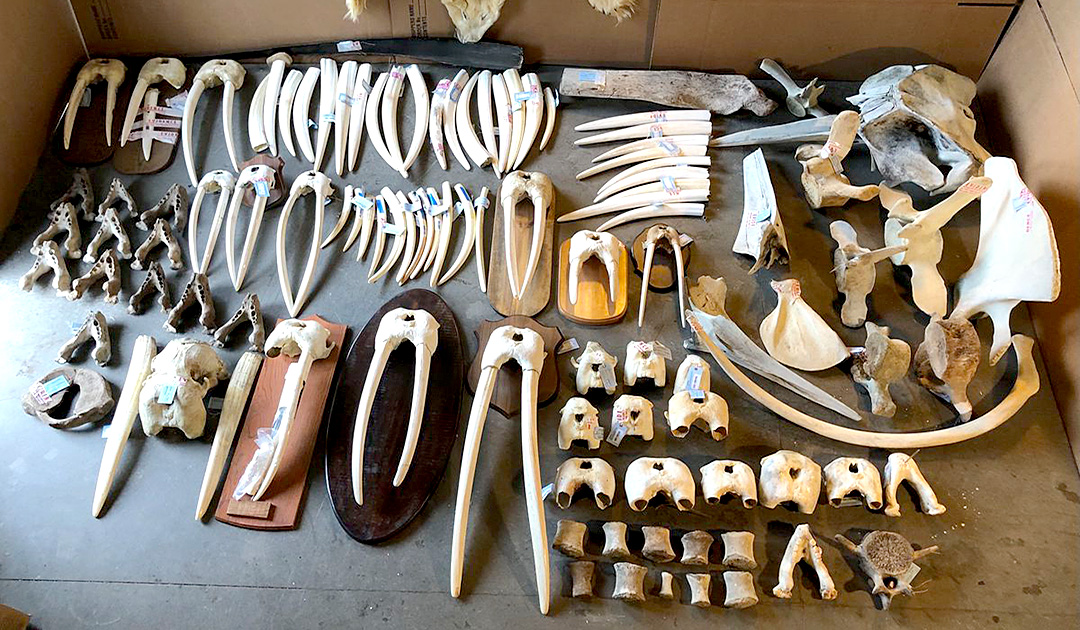 Gallery owner convicted of walrus ivory trafficking