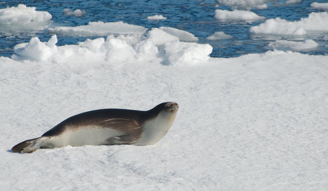 Der geheimnisvollen Ross-Robbe in der Antarktis auf der Spur