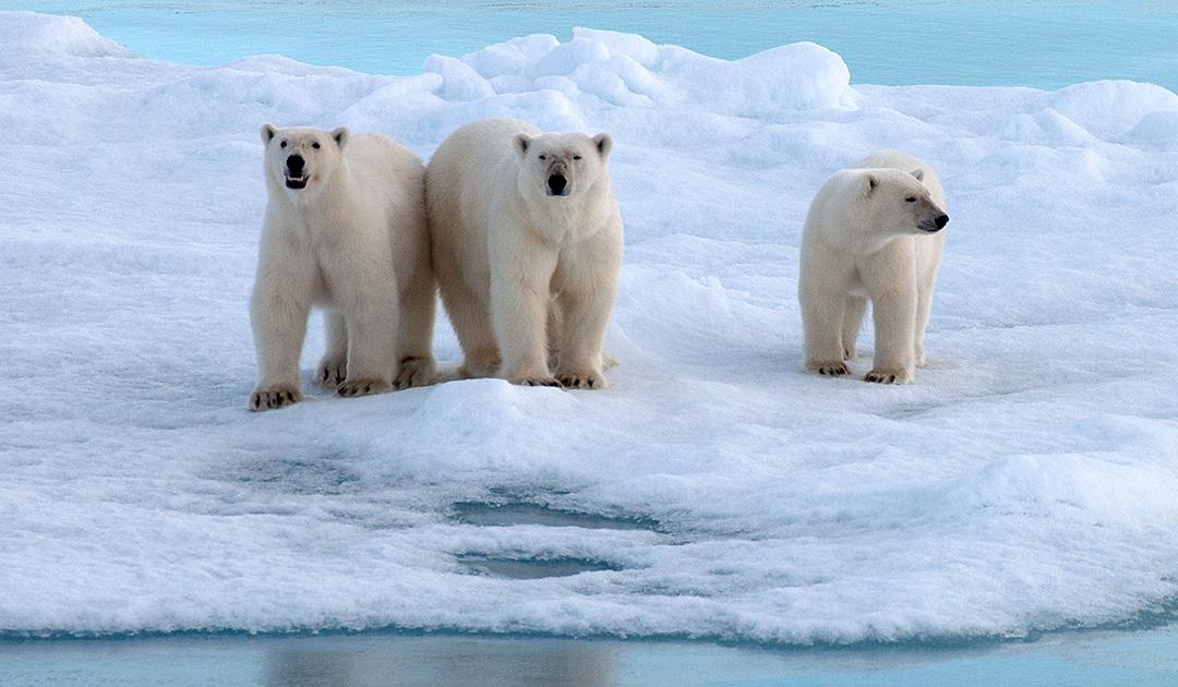 Climate change promotes inbreeding among polar bears