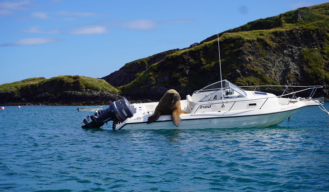 Walrosse und Seeleoparden auf Abwegen