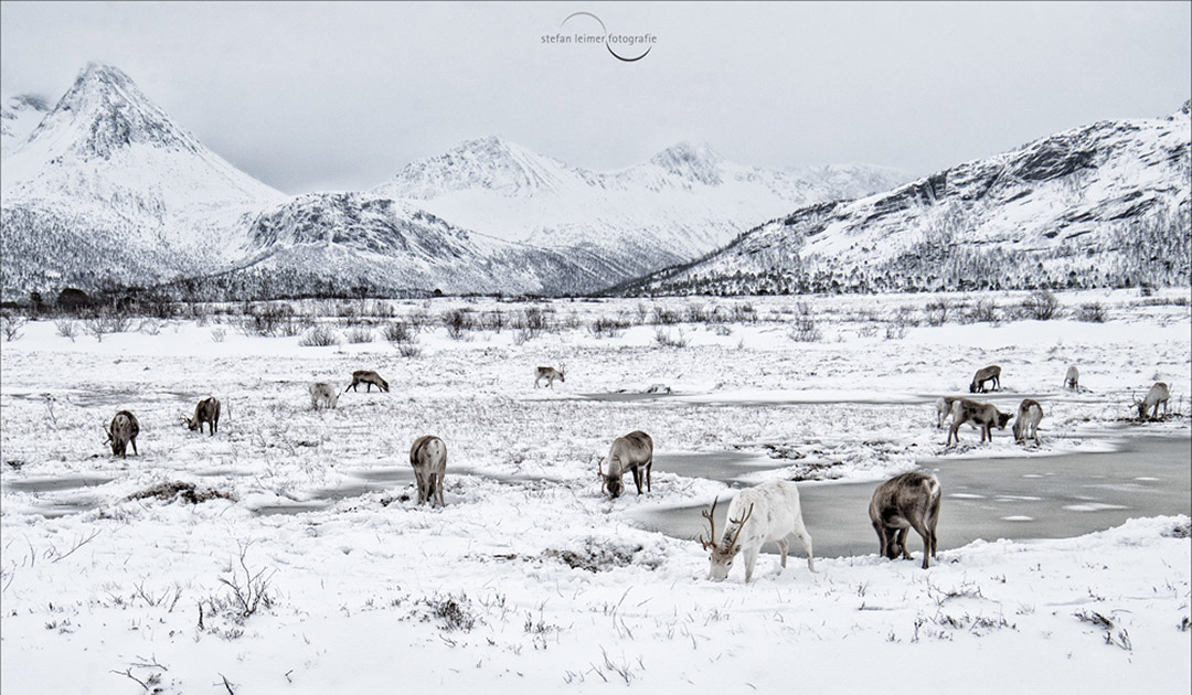 Reindeer – the northernmost deer on the planet